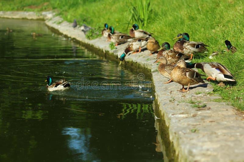 Flock of wild ducks near the pond stock photos
