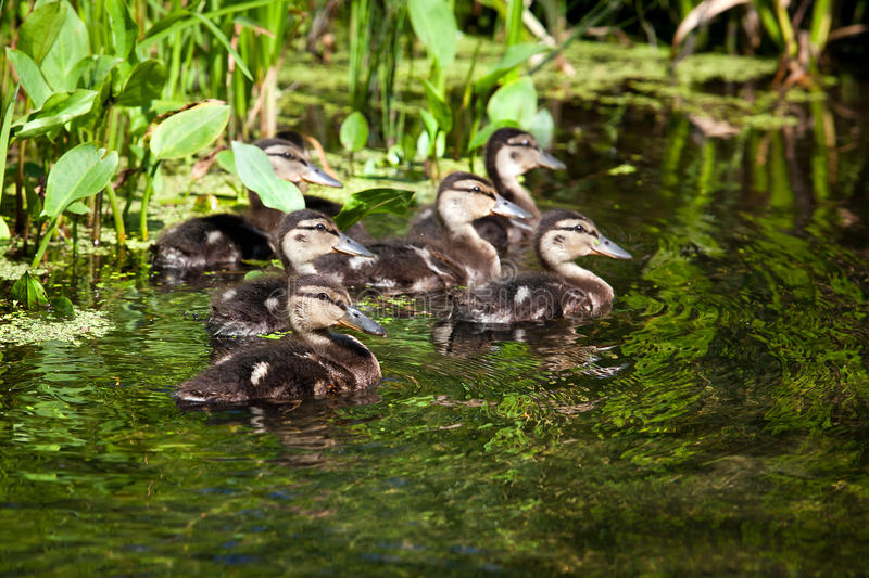 Flock of wild ducks swimming in a pond