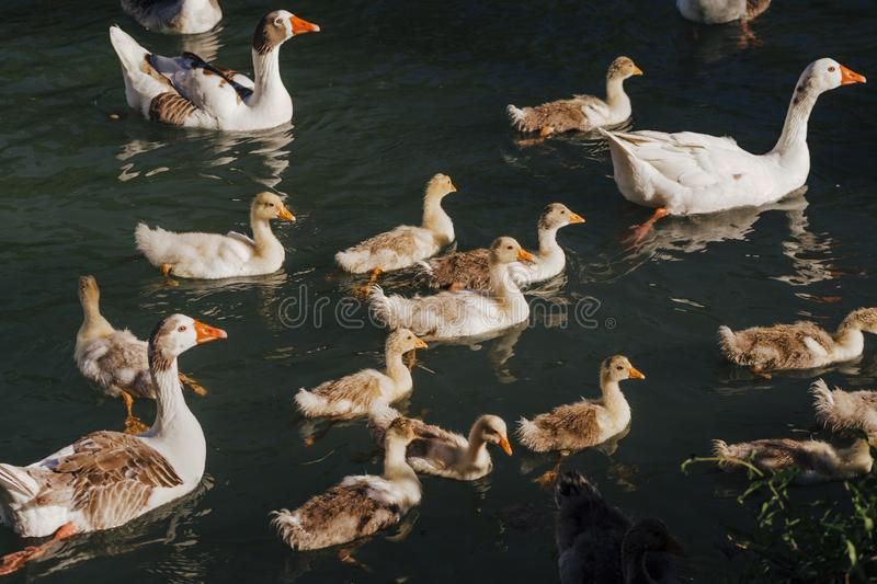 Flock of wild ducks swimming on river. Wildlife in spring. Family with baby ducks stock photo