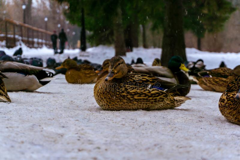 Flock of ducks in the snow in the park royalty free stock image