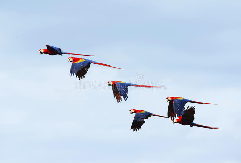 Flock of wild scarlet macaws , corcovado, costa rica. Flock of wild scarlet macaws on tree, carate, corcovado national park, puntarenas, costa rica stock images
