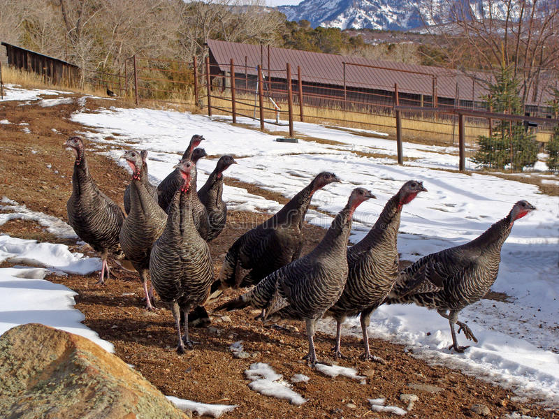 A flock of wild turkeys strolling down country path stock image