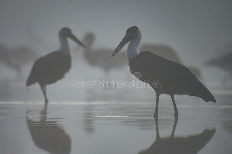The Flock Woolly-necked stork royalty free stock image