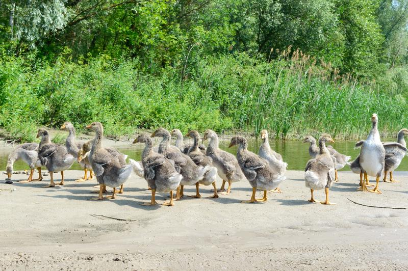 A flock of young gray geese on the bank of the pond on a sunny day royalty free stock photos