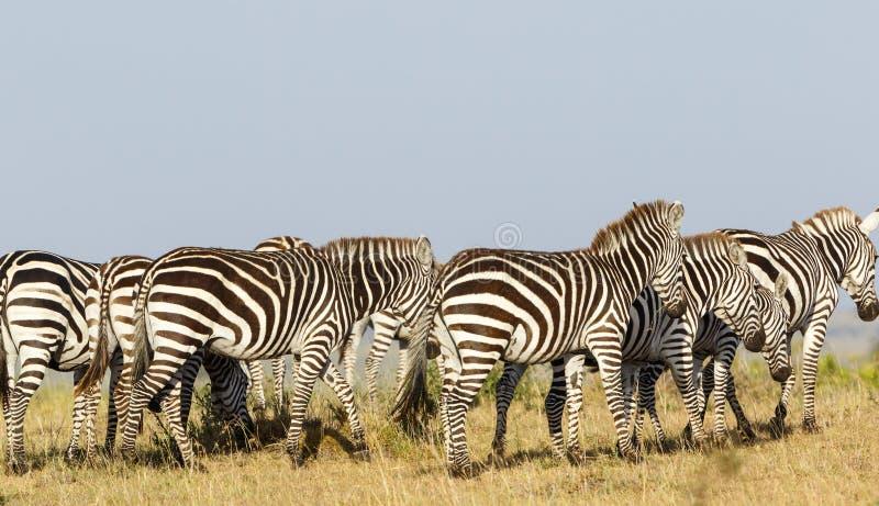 Flock of zebras on the African savanna royalty free stock photo