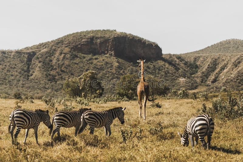 Flock of zebras and giraffe walking in Kenya. National park in Africa. Amazing wild life of animals. Safari in Nairobi, welcome to Africa concept royalty free stock photography