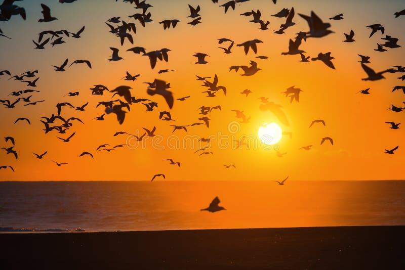 Flockar av fåglar ovanför linjen av bränning på Atlantic Ocean under solnedgång Natur arkivfoto