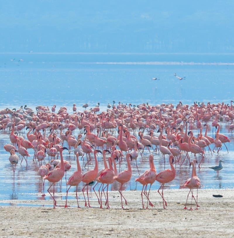 Flockar av flamingoen royaltyfria foton