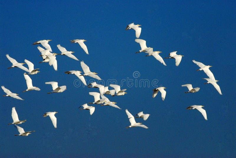 Flockar av nötkreaturägretthäger i flykten arkivfoton