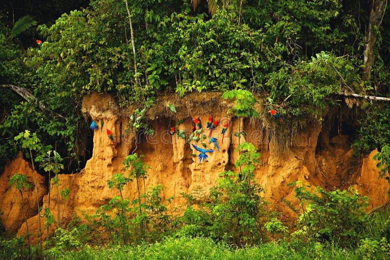 Flockar av papegojor på leraväggen vid riven royaltyfria foton