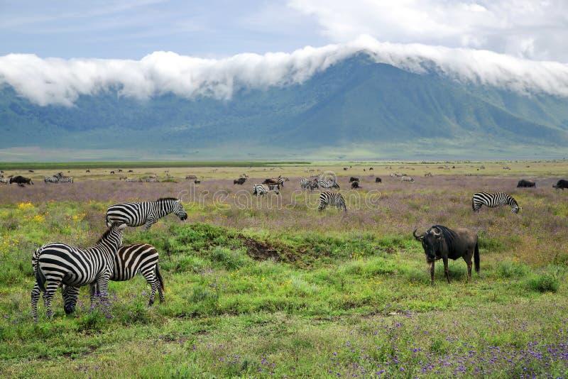 Flockar av sebror och blåttgnu betar i den Ngorongoro krater arkivbild