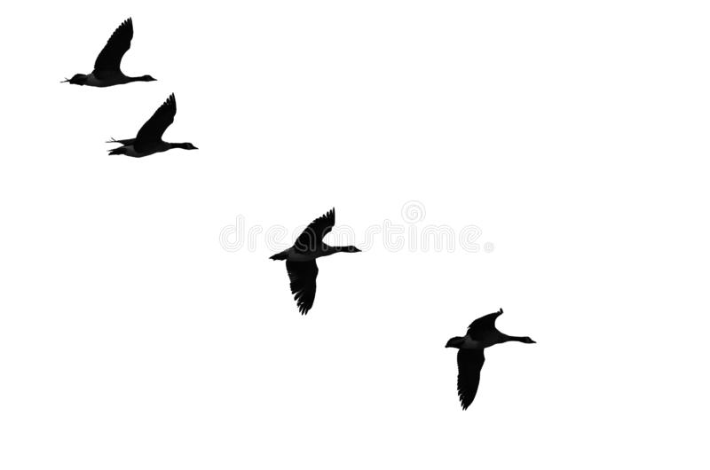 Flockas av att flyga g?ss Silhouetted p? en vit bakgrund fotografering för bildbyråer