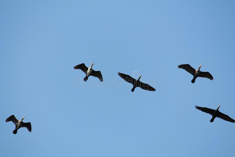 Flockas av för kormoranPhalacrocorax för flyg stor svart carbo mot blå himmel arkivbilder