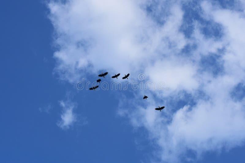 Flockas av slätt-pouchedhornbillen, Aceros subruficollis, Thailand royaltyfri fotografi