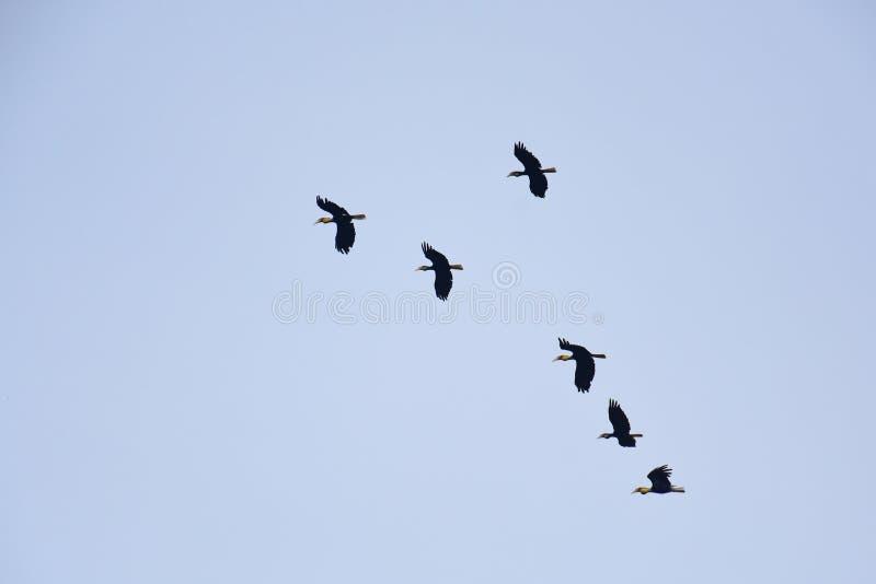 Flockas av slätt-pouchedhornbillen, Aceros subruficollis, Thailand arkivfoton