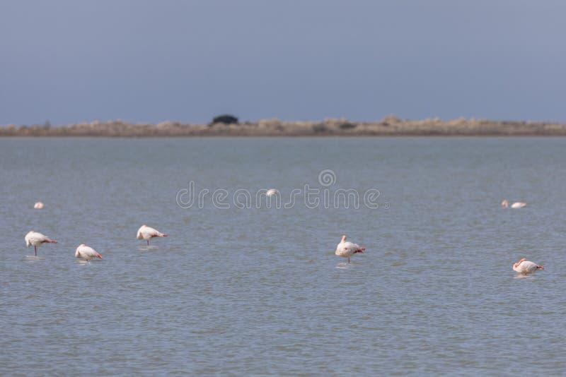 Flockas av större flamingo, den Phoenicopterus roseusen, på en sjö i Camargue, Frankrike arkivbilder