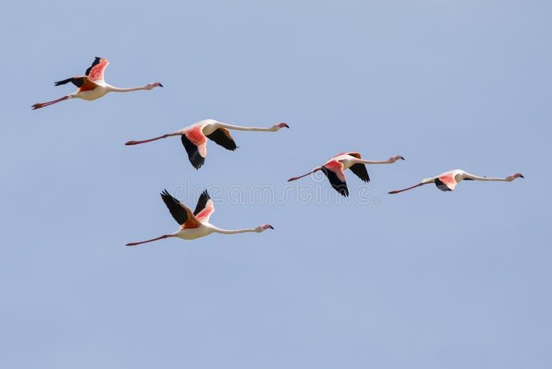 Flockas av större flamingo, den Phoenicopterus roseusen som flyger i Camargue, Frankrike royaltyfri foto
