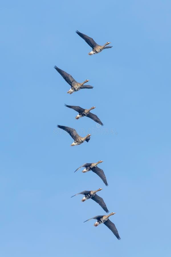 Flockas av större vitt beklätt gässflyg, blå himmel fotografering för bildbyråer