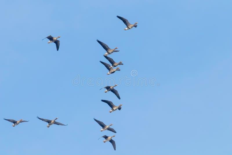 Flockas av större vitt beklätt gässflyg, blå himmel royaltyfri bild