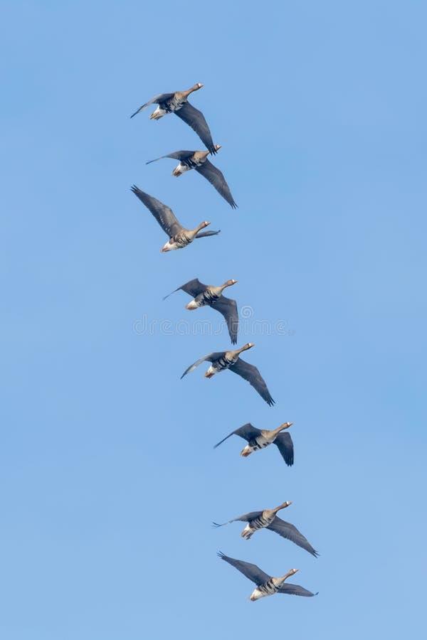 Flockas av större vitt beklätt gässflyg, blå himmel arkivbild