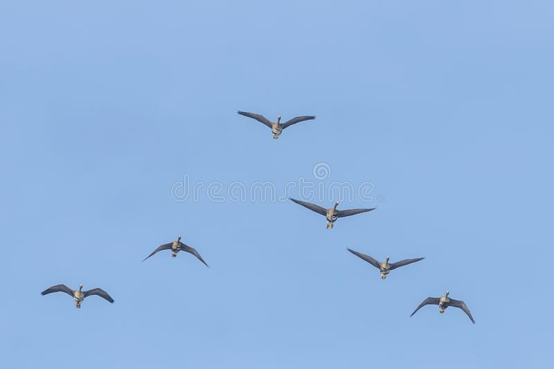 Flockas av större vitt beklätt gässflyg i v-bildande, blå himmel arkivfoton