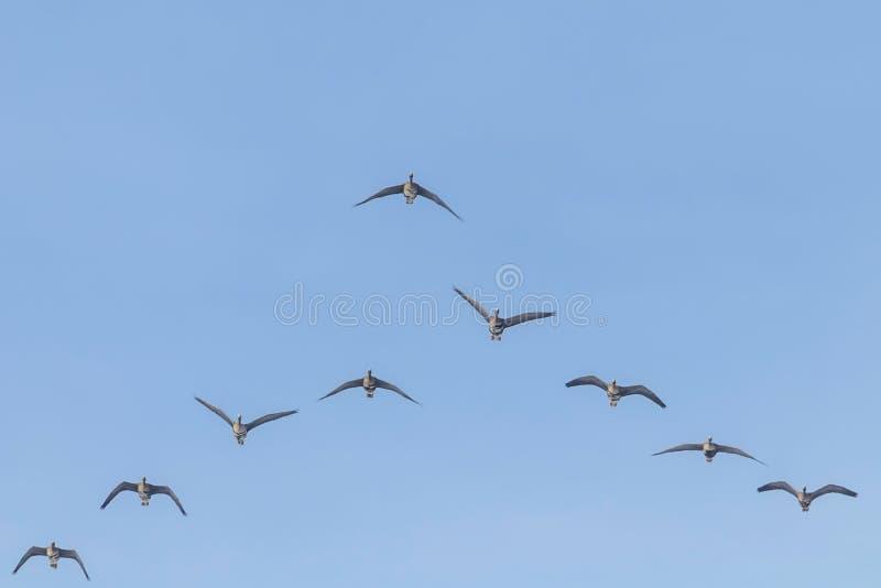 Flockas av större vitt beklätt gässflyg i v-bildande, blå himmel royaltyfria bilder