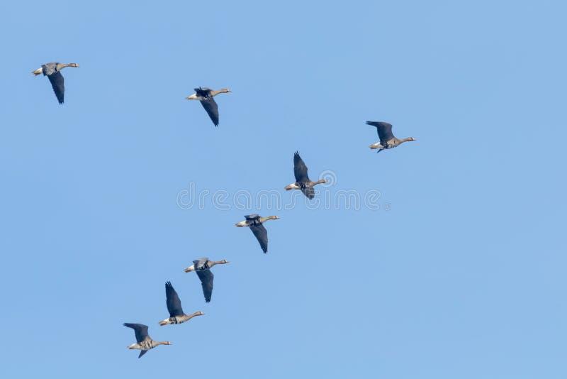 Flockas av större vitt beklätt gässflyg i v-bildande, blå himmel royaltyfri fotografi
