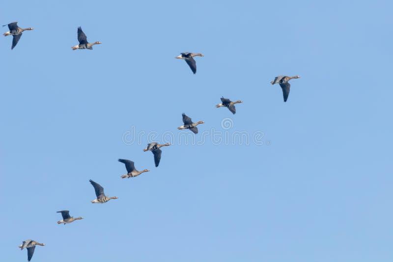 Flockas av större vitt beklätt gässflyg i v-bildande, blå himmel arkivbilder