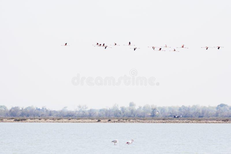 Flockas av st?rre flamingo, den Phoenicopterus roseusen som flyger i Camargue, Frankrike arkivfoto