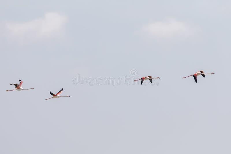 Flockas av st?rre flamingo, den Phoenicopterus roseusen som flyger i Camargue, Frankrike royaltyfria bilder