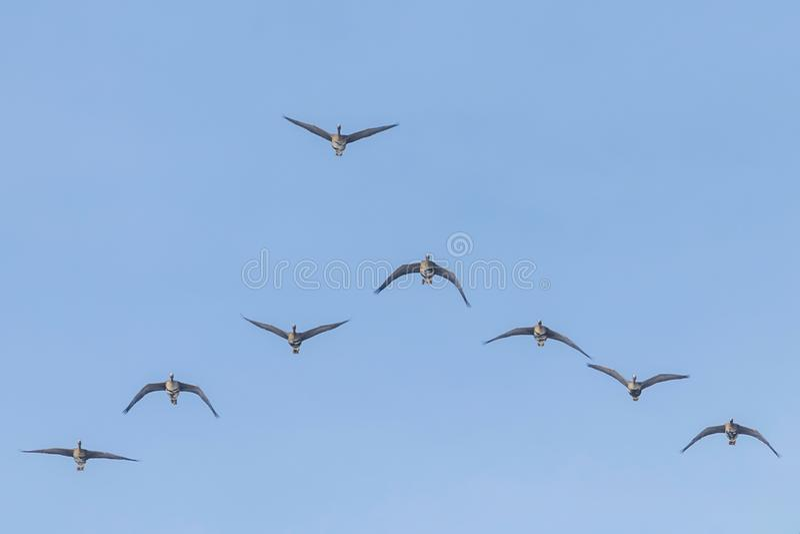 Flockas av st?rre vitt bekl?tt g?ssflyg i v-bildande, bl? himmel royaltyfri bild