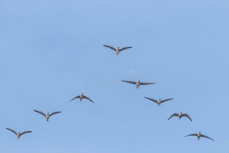 Flockas av st?rre vitt bekl?tt g?ssflyg i v-bildande, bl? himmel royaltyfri foto