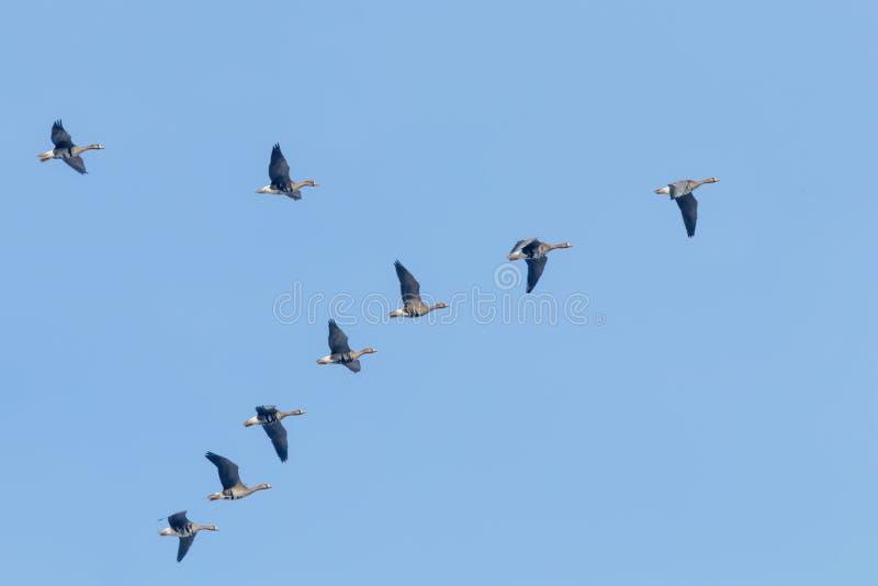 Flockas av st?rre vitt bekl?tt g?ssflyg i v-bildande, bl? himmel arkivbilder