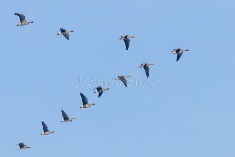 Flockas av st?rre vitt bekl?tt g?ssflyg i v-bildande, bl? himmel royaltyfri fotografi