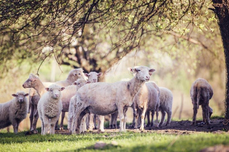 flockas får royaltyfri foto