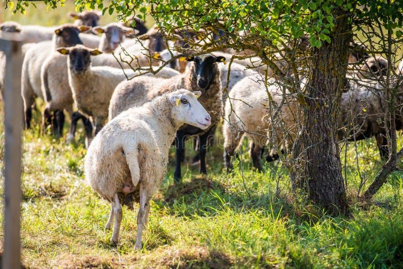 flockas får royaltyfri bild