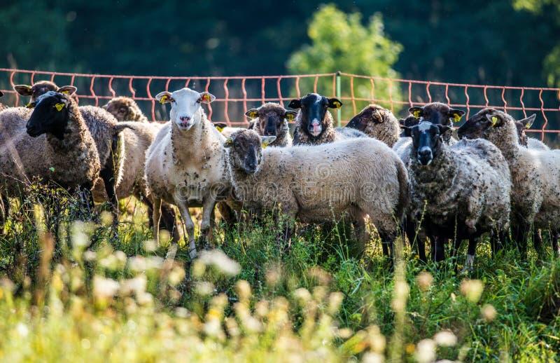 flockas får fotografering för bildbyråer