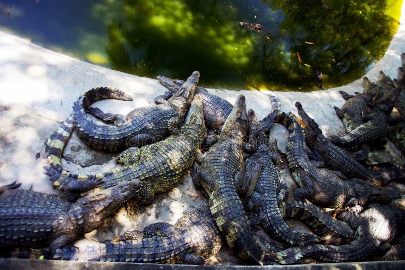 Flockas krokodiler som ligger på banken av ett damm fotografering för bildbyråer