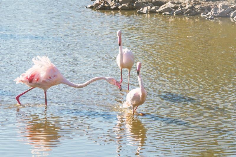 Flockas rosa flamingo som går i vatten i naturlig miljö arkivfoto
