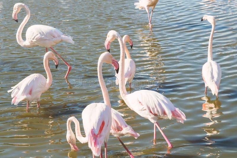 Flockas rosa flamingo som går i vatten i naturlig miljö royaltyfri foto