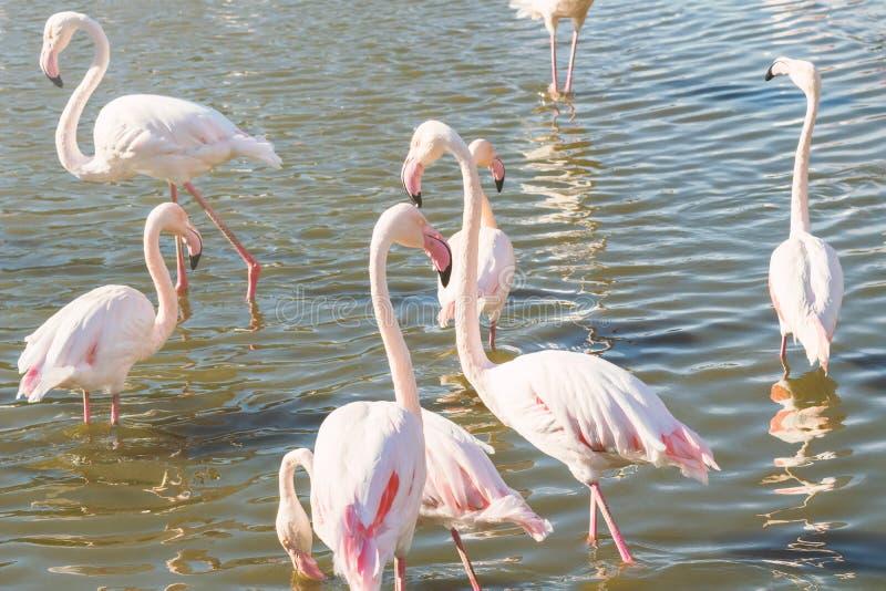 Flockas rosa flamingo som går i vatten i naturlig miljö royaltyfri fotografi