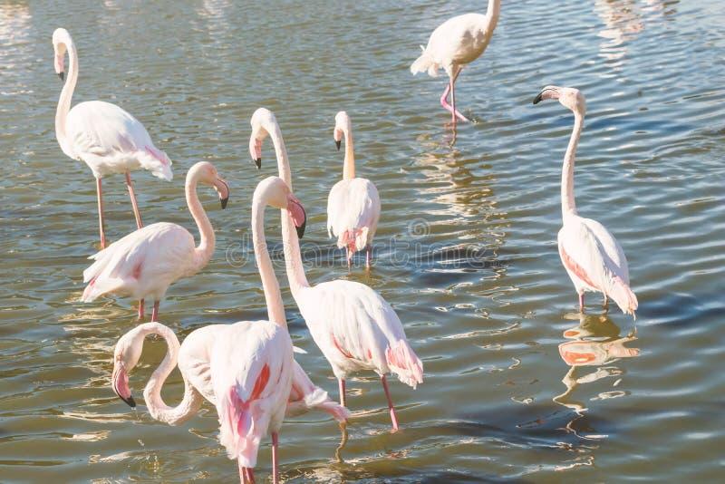 Flockas rosa flamingo som g?r i vatten i naturlig milj? royaltyfri foto