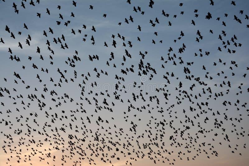 Flockas uppförande av starefåglar i Bikaner royaltyfria bilder