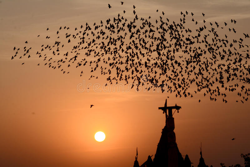 Flockas uppförande av starefåglar i Bikaner royaltyfri foto
