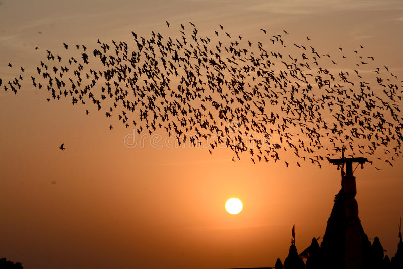 Flockas uppförande av starefåglar i Bikaner arkivbilder