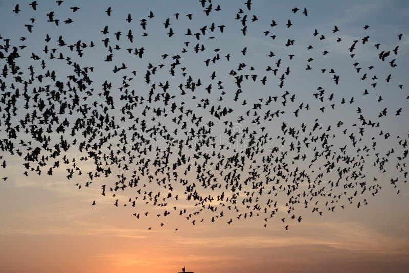 Flockas uppförande av starefåglar i Bikaner royaltyfri bild