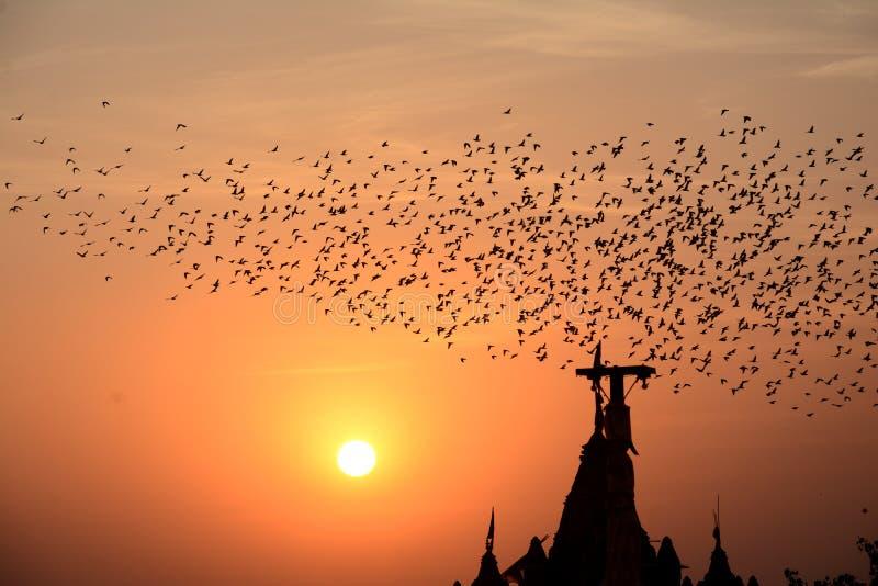 FLOCKAS UPPFÖRANDE I FÅGLAR Bikaner Rajasthan arkivfoton