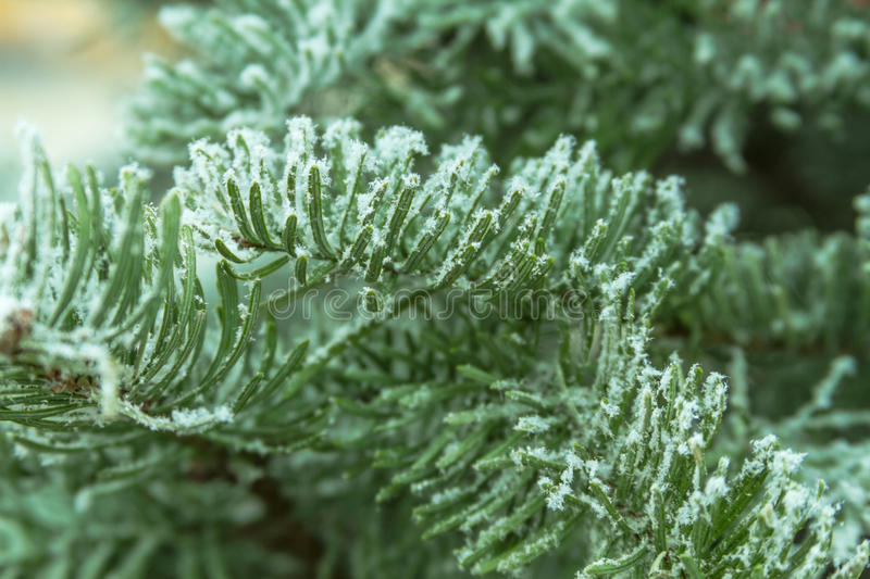 Flocked Christmas Trees. Close up of flocked Christmas tree branch royalty free stock image