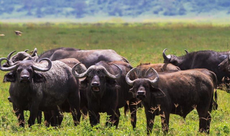 Flocken av afrikanska bufflar stänger sig upp Volcano NgoroNgoro Tanzania royaltyfri fotografi