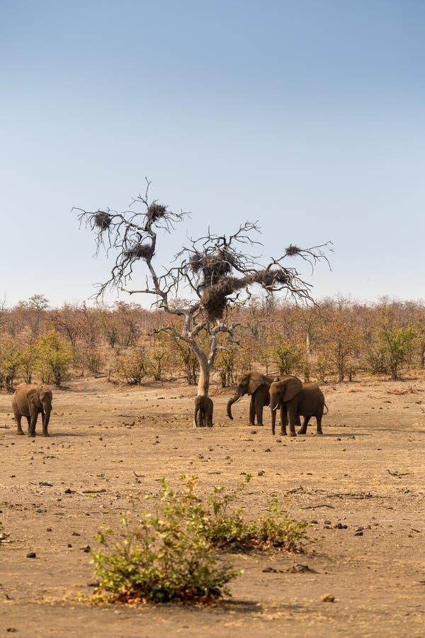 Flocken av afrikanska elefanter i savannahen, Kruger parkerar, Sydafrika royaltyfri fotografi